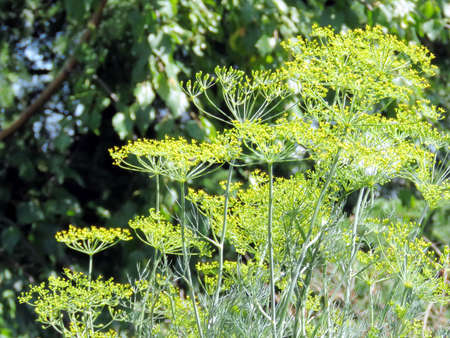 thornhill: Dill flowers in Thornhill Ontario, 23 Juy 2016 Canada Stock Photo