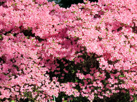 asterids: Pink azalea in South Bethany, Usa - May 7, 2016