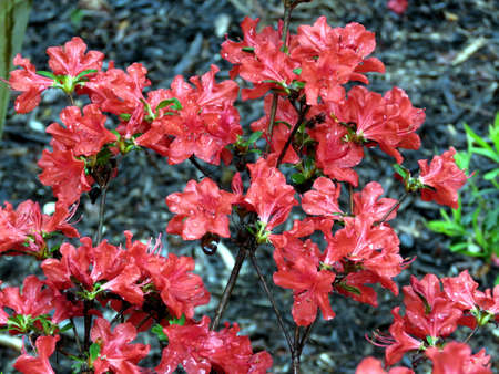 ericaceae: Red azalea in South Bethany, Usa -  May 6, 2016