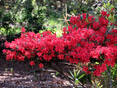 Red azalea branch in South Bethany, Usa Stock Photo