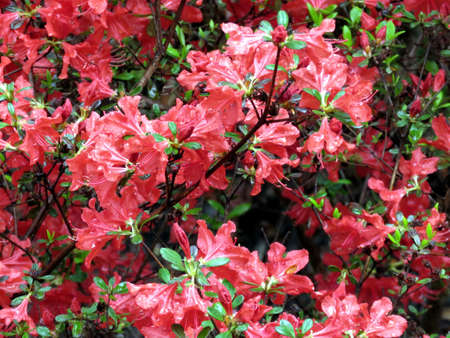 ericaceae: Red azalea flower in South Bethany, Usa Stock Photo