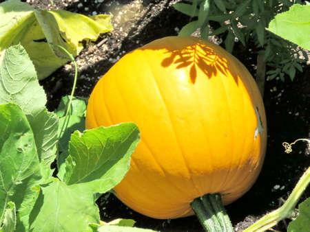 matures: Pumpkin matures in vegetable garden on bank of the Lake Ontario in Toronto, Canada