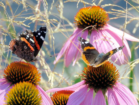 admiral: Red Admiral Butterflies in garden on bank of the Lake Ontario in Toronto, Canada