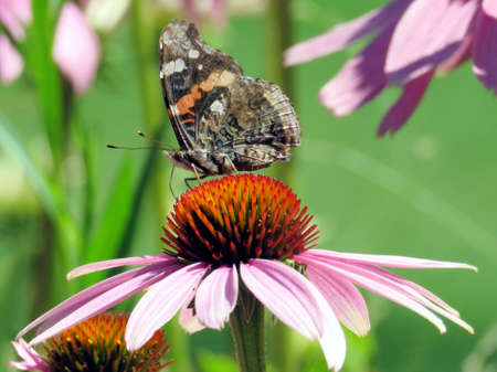Red Admiral Butterfly on a flower in garden on bank of the Lake Ontario in Toronto, Canada Stock Photo