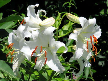 belladonna: White lily flower in garden on bank of the Lake Ontario in Toronto, Canada