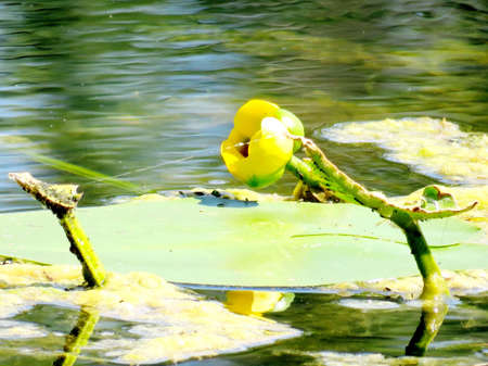 Yellow water lily on a pond in garden on bank of the Lake Ontario in Toronto, Canada, August 2, 2016 Stock Photo