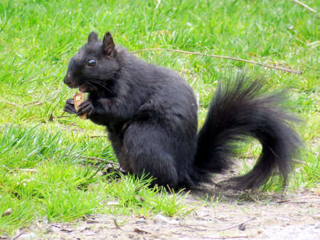biped: Black squirrel in Humber Bay Park on bank of the Lake Ontario in Toronto, Canada