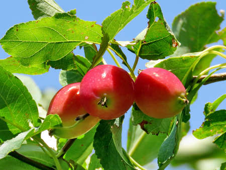 thornhill: Apples on a tree in Thornhill, Canada