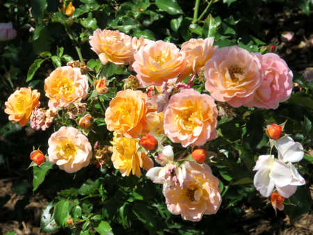 Rose bush in Humber Bay Park on bank of the Lake Ontario in Toronto, Canada Stock Photo