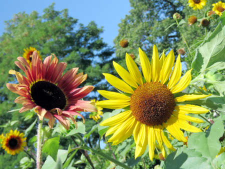 high park: Sunflowers in High Park of Toronto, Canada
