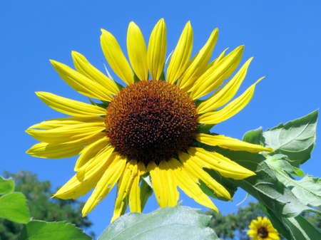 high park: The sunflower in High Park of Toronto, Canada