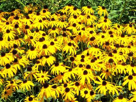 high park: Yellow daisy flowers in High Park of Toronto, Canada, August 23, 2016