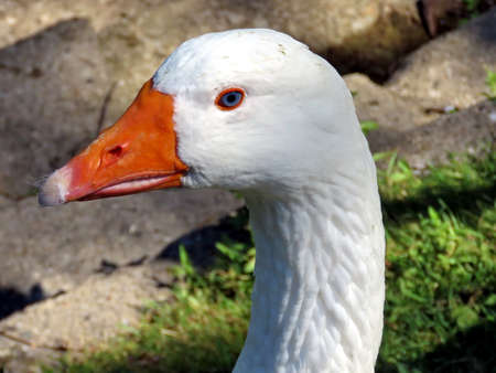 Portrait of White Goose on bank of the Lake Ontario in Toronto, Canada