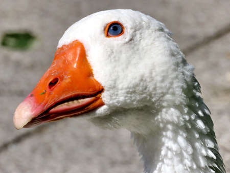 The portrait of White Goose on bank of the Lake Ontario in Toronto, Canada Stock Photo