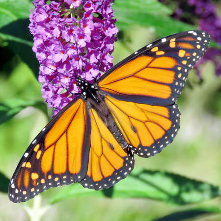 entomological: Beautiful Monarch Butterfly in High Park of Toronto, Canada, September 20, 2016