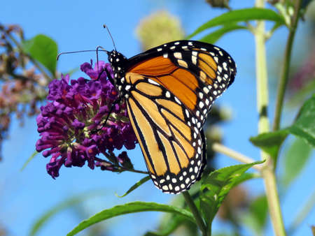 high park: Beautiful Monarch Butterfly on a flower in High Park of Toronto, Canada