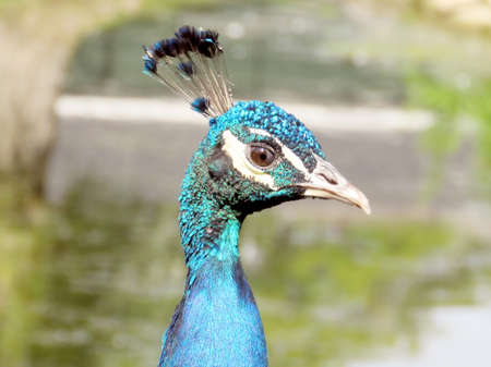 The portrait of peafowl on bank of the Lake Ontario in Toronto, Canada, September 13, 2016