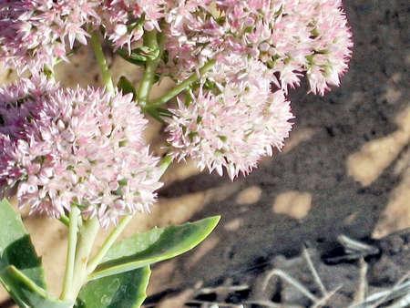 uzbekistan: Flowers in Mayskiy, Uzbekistan, September 22, 2007