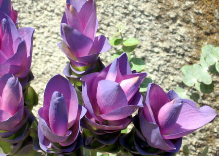 curcuma: The Curcuma flowers in Or Yehuda, Israel, August 16, 2007