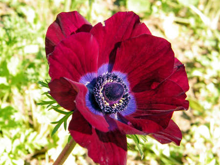 Red Crown Anemone in park of Ramat Gan, Israel, February 6, 2011