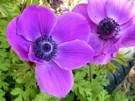 Beautiful Crown Anemone flowers in Or Yehuda, Israel, March 12, 2011
