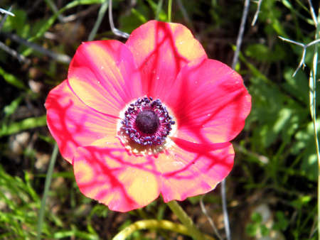 Crown Anemone isolated in forest park in Shoham, Israel, February 18, 2011 Banco de Imagens