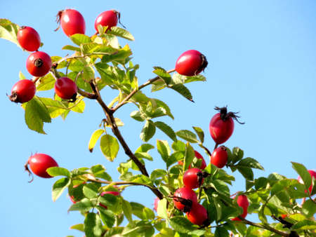 thornhill: Rosehip in Thornhill, Canada, October 12, 2016 Stock Photo