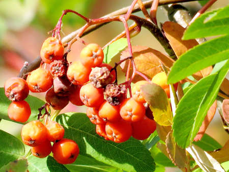 rowanberry: Rowanberry on a tree in Thornhill, Canada, October 12, 2016