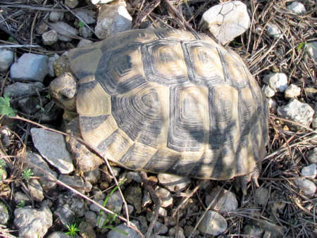 centenarian: Turtle  among the rocks in forest park in Shoham, Israel, February 3, 2012 Stock Photo