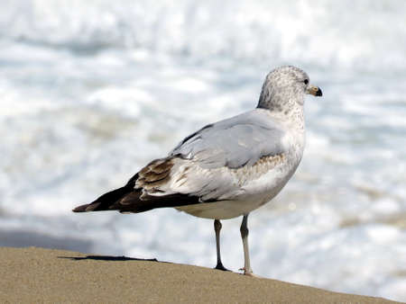 lint: The gull on the beach in South Bethany, Usa, April 24, 2016