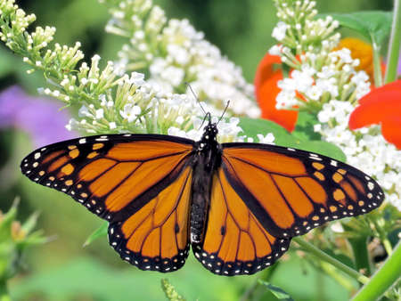 danaus: Monarch butterfly on a white flower in garden on bank of the Lake Ontario in Toronto, Canada, September 13, 2016