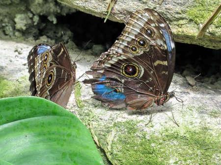 The Common Morpho butterflies in garden of Niagara Falls Ontario, 16 July 2016 Canada Stock Photo