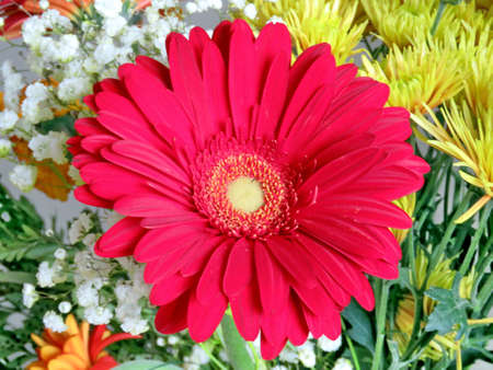 thornhill: Large red daisy in Thornhill, Canada, October 23, 2016 Stock Photo