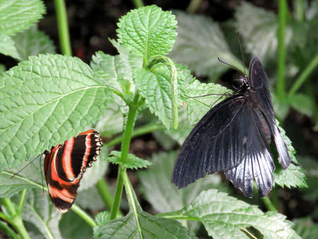 Banded Orange and black Great Mormon in garden of Niagara Falls, Canada, July 16, 2016