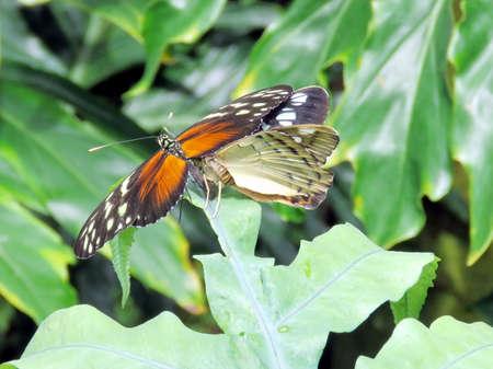 2016 년 7 월 16 일, 캐나다, 나이아가라 폭포의 정원에있는 Hypolimnas misippus