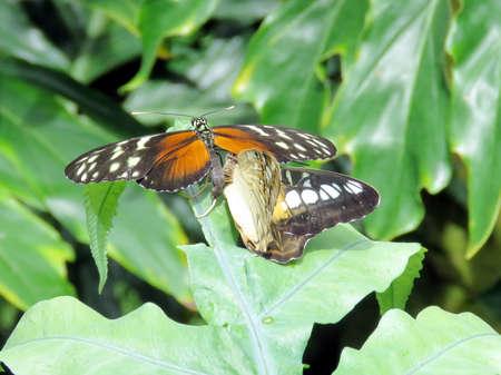 Hypolimnas misippus butterflies in garden of Niagara Falls, Canada, July 16, 2016