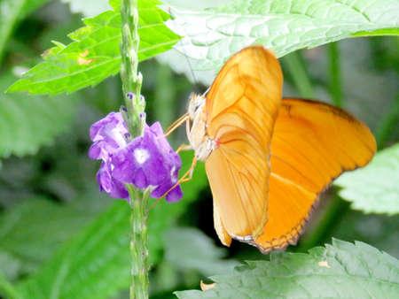 Orange Sulphur butterfly in garden of Niagara Falls, Canada, July 16, 2016