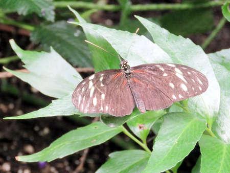longwing: Hecale Longwing Butterfly in garden of Niagara Falls, Canada, July 16, 2016 Stock Photo