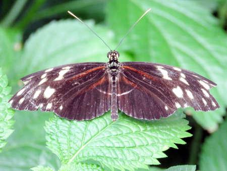 longwing: The Hecale Longwing Butterfly in garden of Niagara Falls, Canada, July 16, 2016