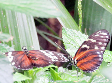 longwing: Tiger Longwing Butterfly in garden of Niagara Falls, Canada, July 16, 2016 Stock Photo