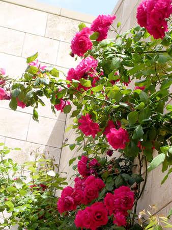 bahai: Roses in Bahai garden near Akko, Israel, May 11, 2004