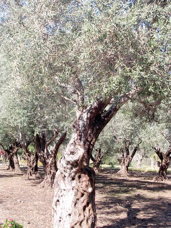 bahai: Olive trees in Bahai garden near Akko, Israel, November 17, 2003 Stock Photo