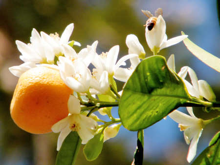 Tangerine fruit and flower on a tree in Or Yehuda, Israel, February 17, 2011