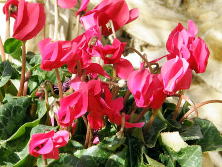 sowbread: Red cyclamen in Or Yehuda, Israel,January 29, 2011 Stock Photo