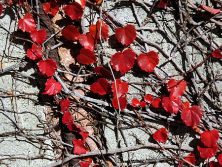 thornhill: Red leaves in Thornhill, Canada, November 6, 2016