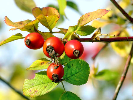thornhill: The rosehip in Thornhill, Canada, November 3, 2016