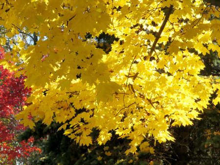 Gold autumn in Thornhill, Canada, November 6, 2016
