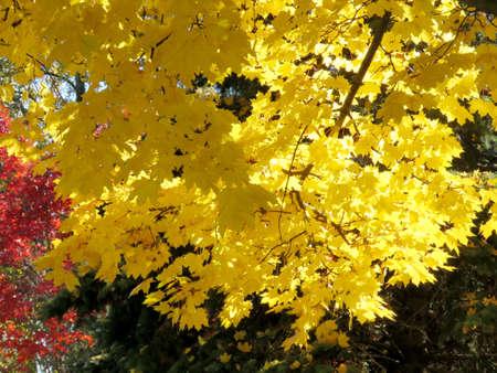 thornhill: Gold autumn in Thornhill, Canada, November 6, 2016