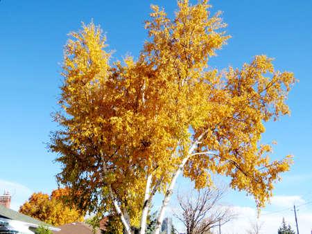 thornhill: Autumn birch in Thornhill, Canada, November 6, 2016