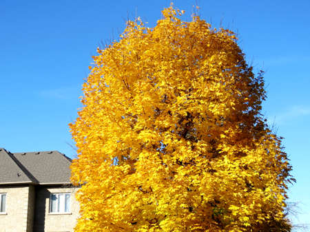 Gold maple tree in Thornhill, Canada, November 6, 2016